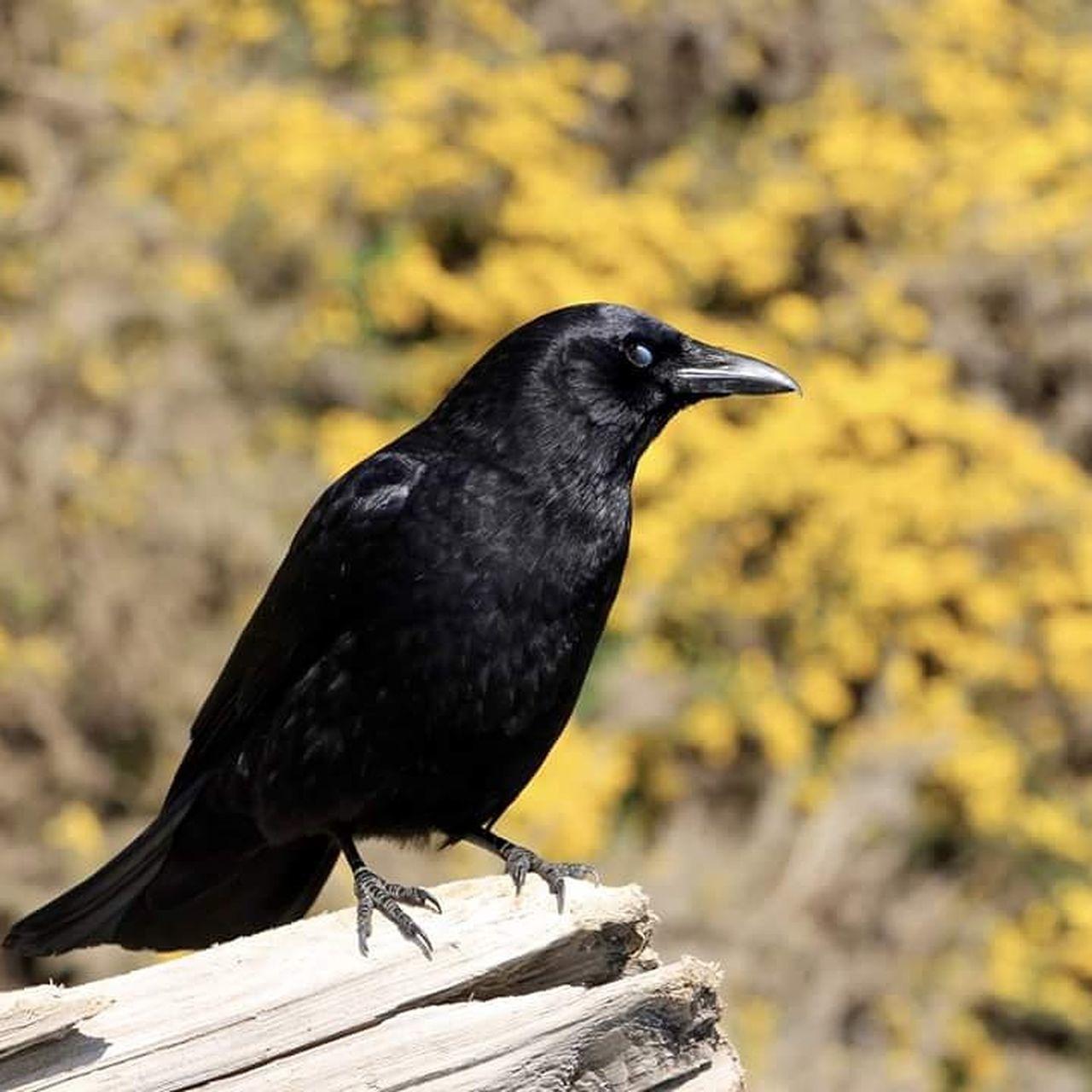 CLOSE-UP OF BLACK BIRD PERCHING ON WALL