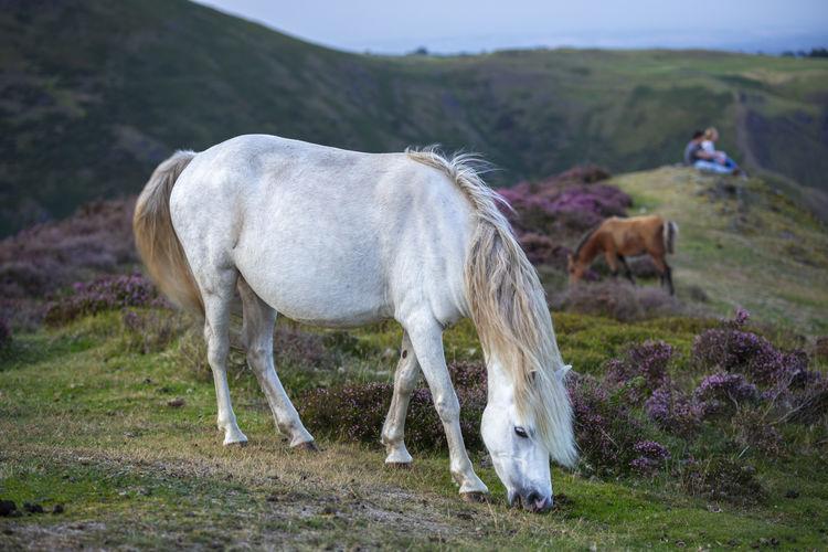 Wild white pony
