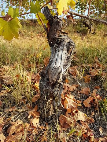 Vine - Plant Vineyards In Autumn Vineyard Langhe Autumn Autumn Colors Autumn Leaves Yellow Color Beauty In Nature Vineyard Cultivation Vine Leaves Winemaking Piedmont Italy Textures And Surfaces Textures In Nature