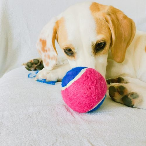 Playtime Pets Domestic Canine Dog Mammal One Animal Domestic Animals Animal Themes Animal Indoors  Toy Vertebrate Ball Portrait Close-up White Color