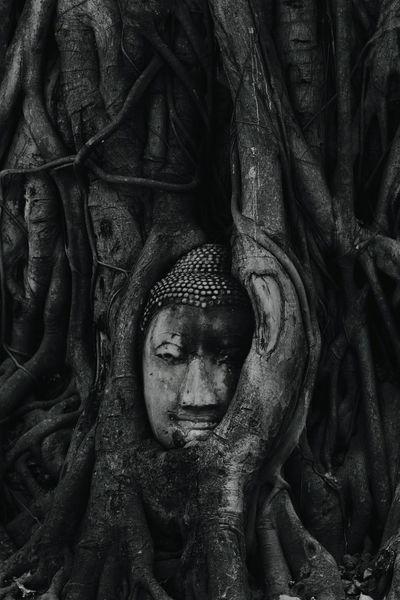 The roots around the head of buddha. Head Buddha Under The Rood Tree In Ayutthaya, Thailand Buddha Statue Wat Mahathat Temple Ayutthaya Thailand เศียรพระในรากไม้ วัดมหาธาตุ