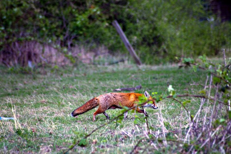Fox Nature Nature_collection EyeEm Nature Lover Naturelovers Beautiful Nature Animals Wildlife Spring Into Spring EyeEm Best Shots