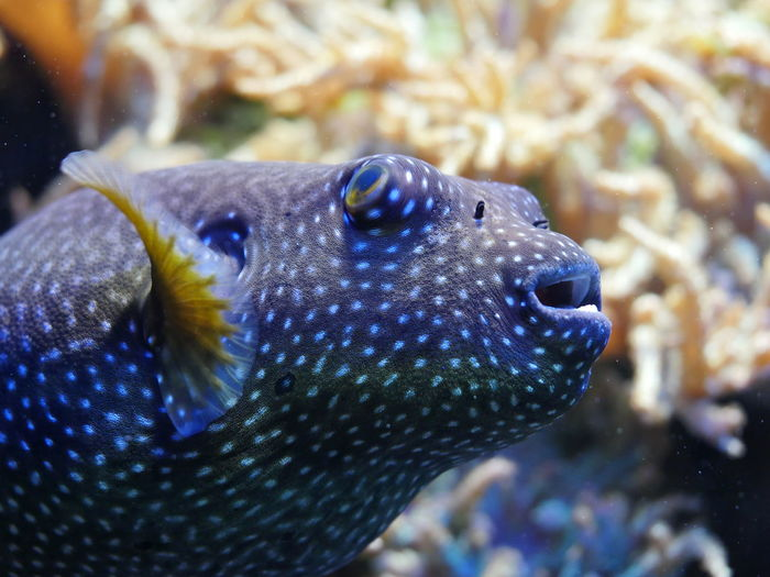 Close-up of puffer fish in tank