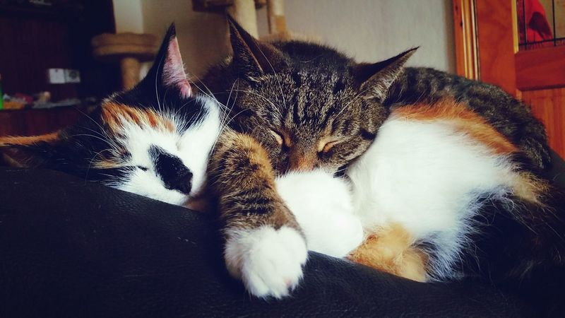 Cats Cats Of EyeEm Pets Pets Of Eyeem Snuggles SnuggleBuddies Nap Time Crazy Cat Lady Showcase June