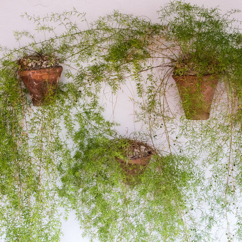 Ferns planted on a patio wall Close-up Ferns Green No People Outdoors Patio Patios De Córdoba Plants Pots White Background