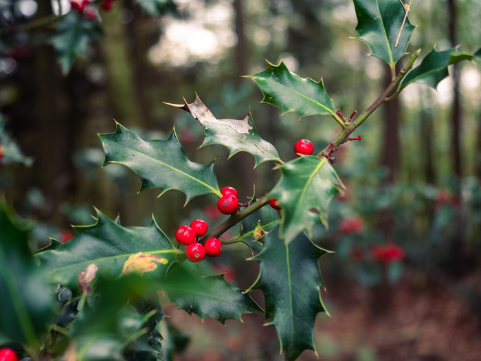 Ilex in the forest Fruit Growth Plant Red Leaf Plant Part Berry Fruit Green Color Nature Close-up Day Freshness Tree Beauty In Nature Selective Focus No People Focus On Foreground Outdoors Ripe Rowanberry Ilex Autumn Stechpalme Christmas Forest