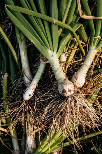 Green onions at a farm Agriculture Eating Farm Green Green Color Nature Plant Vegetarian Food Close-up Dirt Fresh Garden Growth Harvest Healthy Eating Ingredient Nature_collection No People Nutrition Onion Organic Roots Tasty Vegtables Vitamin