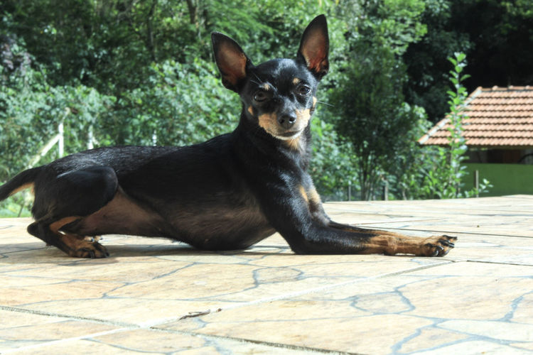 dog portrait pets looking at camera one animal domestic animals black color animal themes outdoors day no people nature close-up CanonT5i Chiuaua