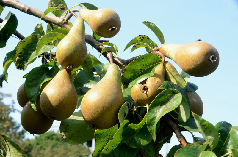 Pears on a