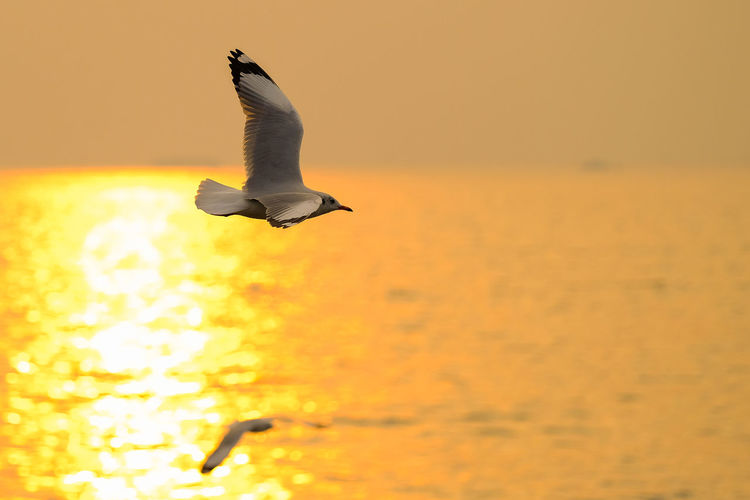 Seagull flying over sea during sunset