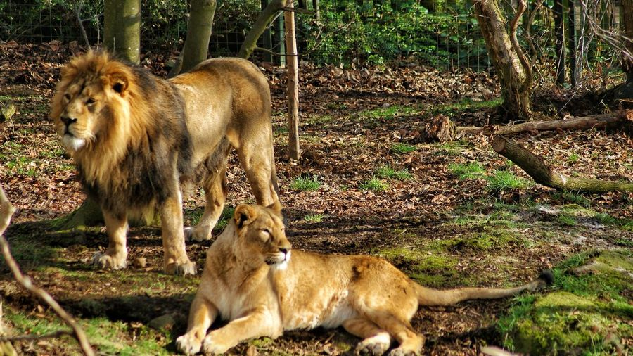 Animal Themes Animals In The Wild Mammal Grass No People Outdoors Day Cute Animals Animal Photography Day Out Animal Zoo Amateur Photography Photography Edinburgh, Scotland Lions Lionsinthezoo Couples