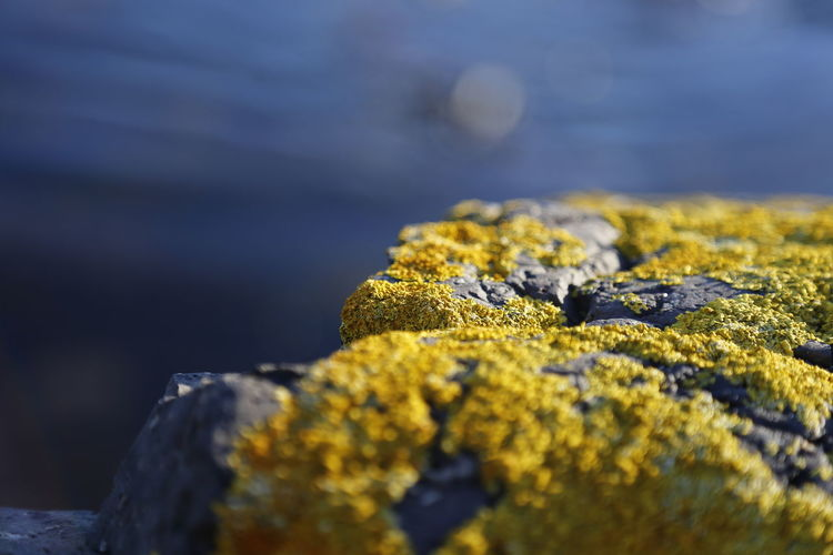 Close-up of yellow bright moss, algae on a rock
