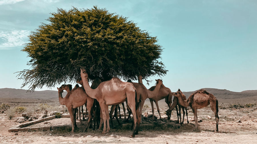 Camels on a field