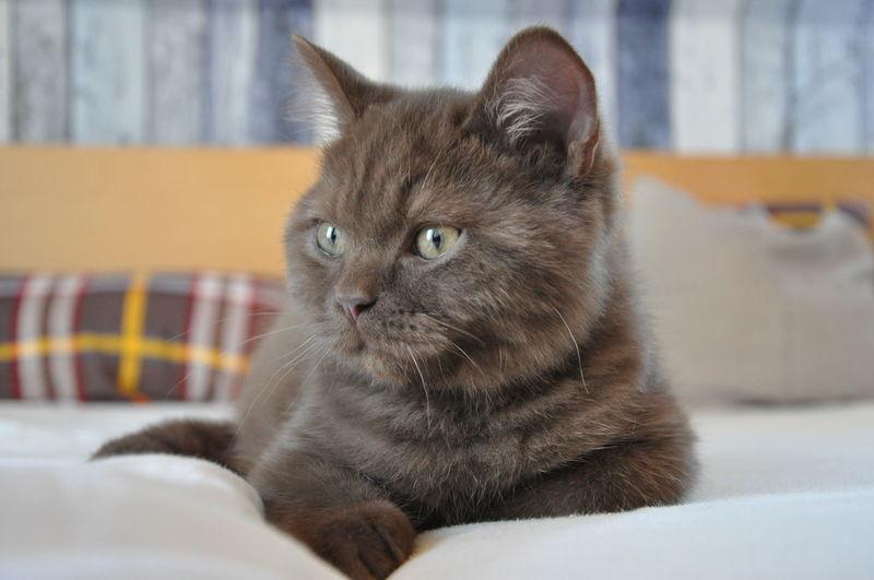 Pets Animal Themes One Animal British Shorthair Britisch Kurzhaar Katzen Katzen 💜 Katzenfoto Cats Of EyeEm Cat♡ Cats 🐱 Catlovers Cats Bkh Kätzchen Cats And Dogs Cat Lovers