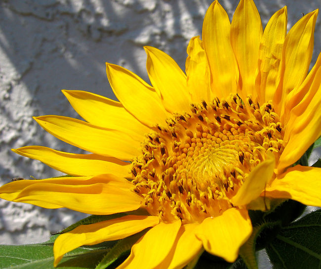Beauty In Nature Blooming Close-up Day Flower Flower Head Fragility Freshness Growth Nature No People Outdoors Petal Plant Pollen Yellow