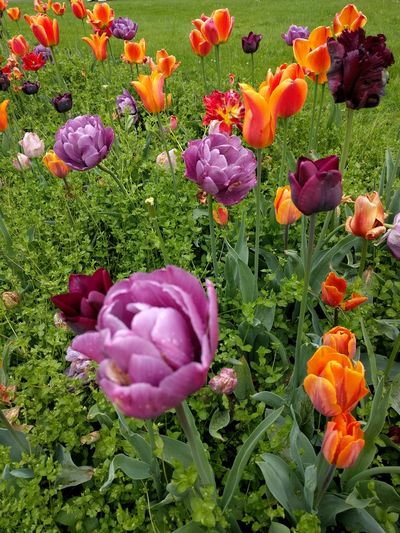 spring Flower Head Flower Multi Colored Petal Purple Grass Close-up Plant Blooming Tulip Plant Bulb In Bloom Plant Life Blossom Flowering Plant Botany