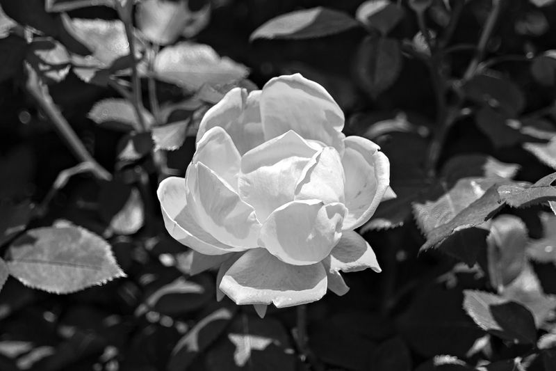 EyeEm Gallery Beauty In Nature Blackandwhite Photography Close-up Day Flower Flower Head Flowering Plant Focus On Foreground Fragility Freshness Growth Inflorescence Leaf Nature No People Outdoors Petal Plant Plant Part Rosé Rose - Flower Springtime Vulnerability