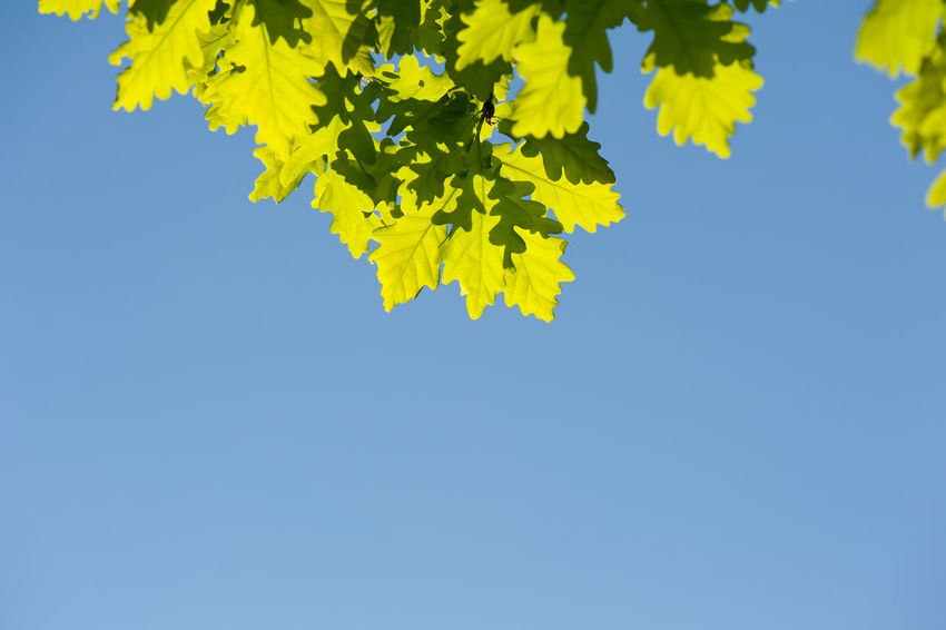 Bunch of green oak leaves in bright sunlight on blue sky in spring time. Oak is a tree or shrub in the genus Quercus. Photo taken in Poland, horizontal orientation, nobody. Blue Sky Clear Sky Deciduous Fagaceae Foliage Green Greenery Leaf Leafy Leaved Leaves Nature No People Oak Plant Quercus Spring Sunlight Tree