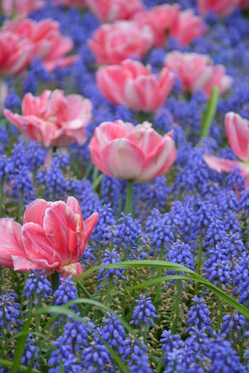 Springflowers Beauty In Nature Blue Close-up Flower Flower Head Freshness Nature No People Outdoors Pink Spring Spring Flowers Starch Grape Hyacinth Tulips