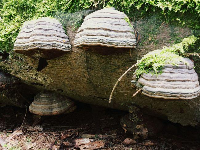 Baumpilze🍄 Mushrooms 🍄🍄 Nature Photography EyeEm Nature Lover Taking Photos EyeEm Best Shots - Nature