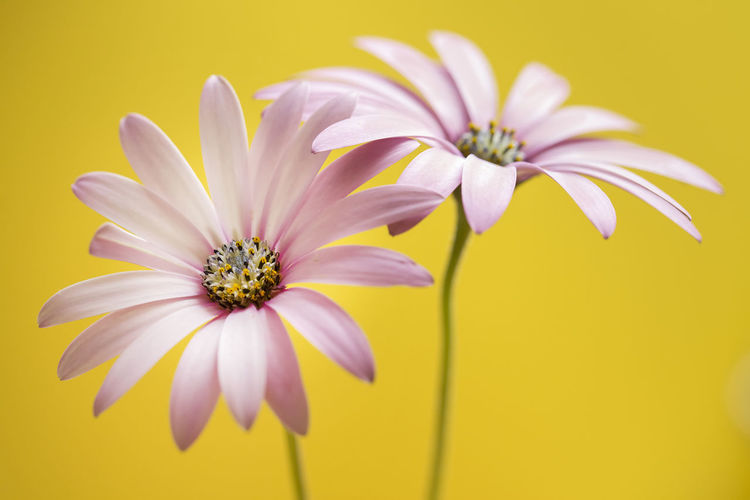 Flower, daisy with color backgroung Flower Flowering Plant Beauty In Nature Plant Freshness Close-up Flower Head Pollen Inflorescence Fragility Petal Growth Vulnerability  Nature No People Nature