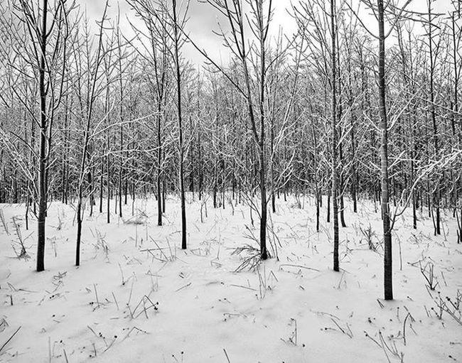 New growth https://goo.gl/fLQzmh Reimerpics Blackandwhite Georgianbay Plantshit Ontario Prettyriverpark Canada Photography Lines Landscape Nature Snow