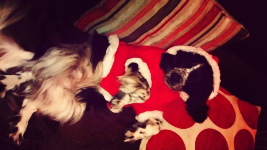 Rosie in her Christmas outfit. Bad quality :( Christmas Cute I Love My Dog My Dogs Are Cooler Than Your Kids