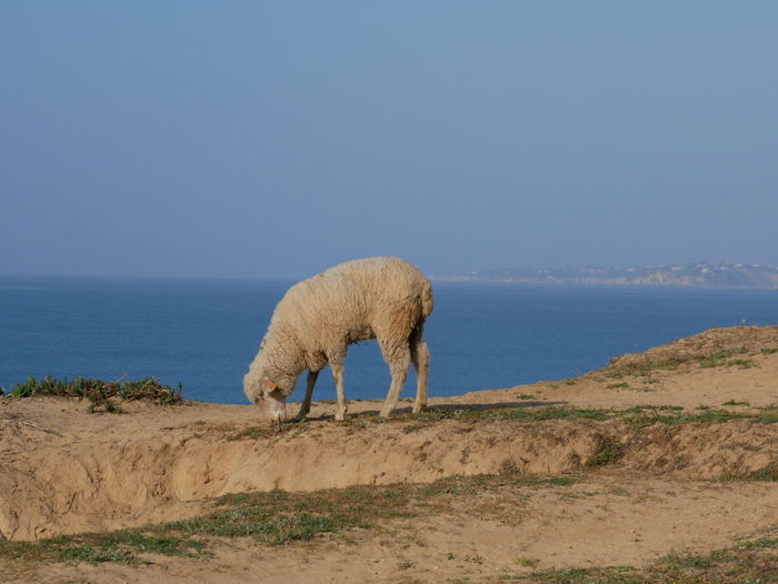 View of sheep on beach against clear sky