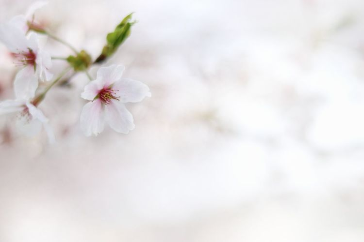 Japan Photography Japan 日本 桜 サクラ Natural 自然 綺麗 Beautiful Flower Cute Pink 単焦点 White Flower White Color Flower Head Flower Tree Branch Backgrounds Springtime Pastel Colored Beauty Defocused Full Frame