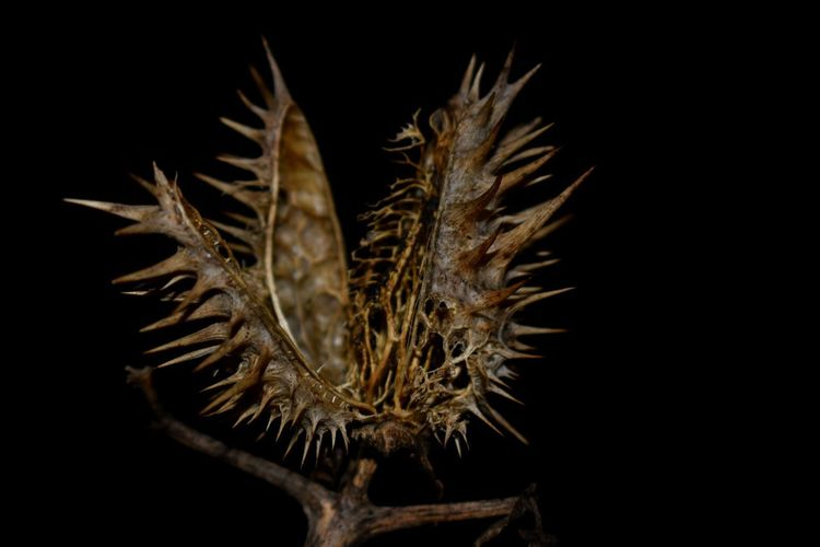 Black Background Black Color Closing No People Studio Shot Close-up Nature Thistle Nature Thorn Colors Dead Plant Texture Flowers,Plants & Garden Outdoors Backgrounds Nature_perfection Full Frame Background Autumn Flower Collection Flower Seed Chamico Datura EyeEmNewHere