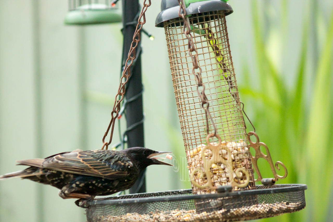 bird, bird feeder, animals in the wild, animal themes, food, food and drink, focus on foreground, animal wildlife, perching, no people, day, outdoors, nature, hanging, close-up, eating, sparrow
