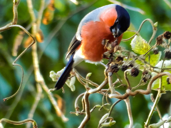 Trockenobst soll auch gesund sein One Animal Animal Themes Focus On Foreground Animals In The Wild Bird Animal Wildlife Dompfaff Bullfinch Winterkälte EyeEm Germany GERMANY🇩🇪DEUTSCHERLAND@ The Week On EyeEem EyeEm Best Shots Germany Photos Official EyeEm © Animals In The Wild Maximum Closeness