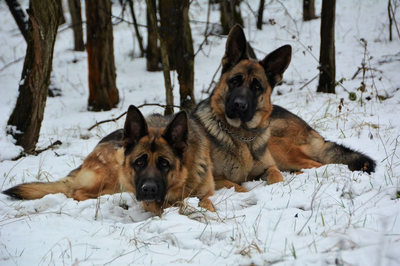 Portrait of german shepherds relaxing on snow covered field during winter