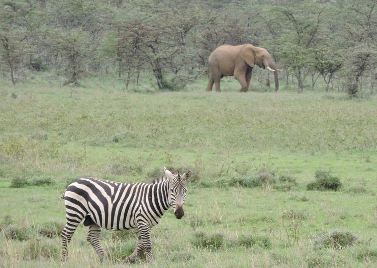 Elephant And Zebra On Field