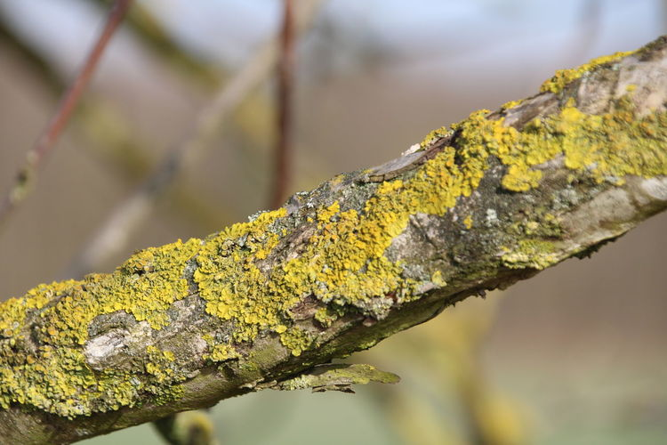 Close-up of yellow lichen growing on tree trunk