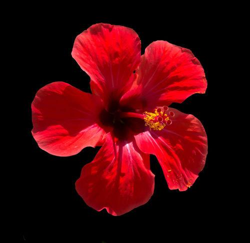 Red Hibiscus flower on green foliage. Hibiscus Rosa sinensis Hibiscus 🌺 Red Flower Hibiscus Petals Pistil Rosa Sinensis Sunlit
