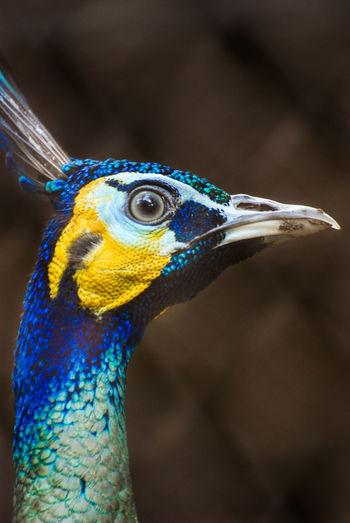 A head of Peafowl. Animal Themes Animal Wildlife Bird Close-up Day Head Shot  No People One Animal Outdoors Peafowl Head Zoo