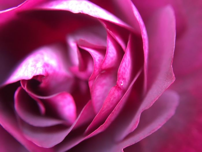 Another oldie Macro Nature Nature_collection Nature Photography Flower Pink Color Plant Beauty In Nature Freshness Close-up Flowering Plant Rosé