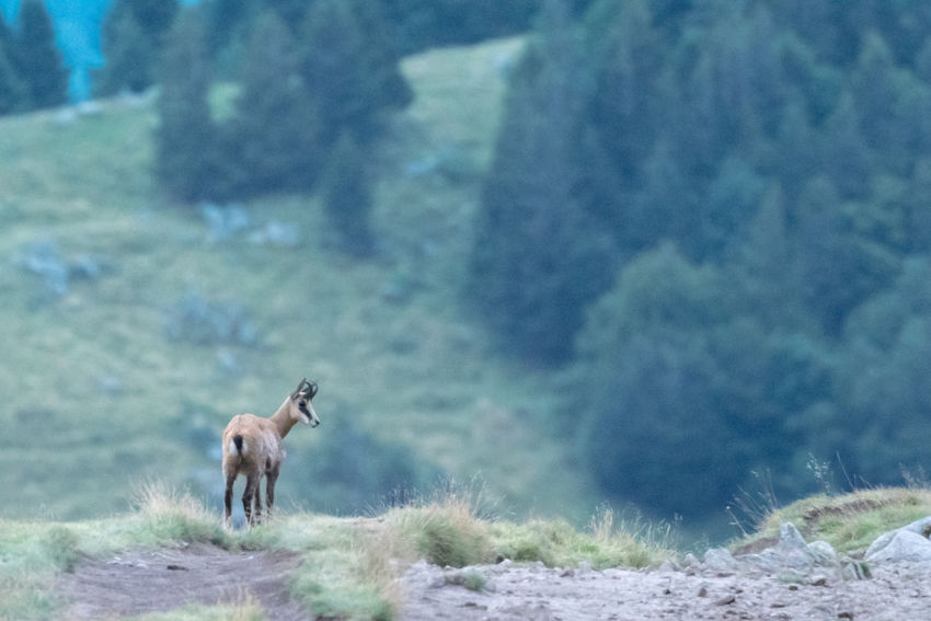 Alsace France Nature Vosges Wildlife & Nature Animal Animal Themes Animal Wildlife Animals In The Wild Chamois Day Domestic Animals Field Fox Full Length Hohneck Land Mammal Mountain Nature No People One Animal Outdoors Pets Plant Standing Tree Vertebrate Vogesen Wildlife