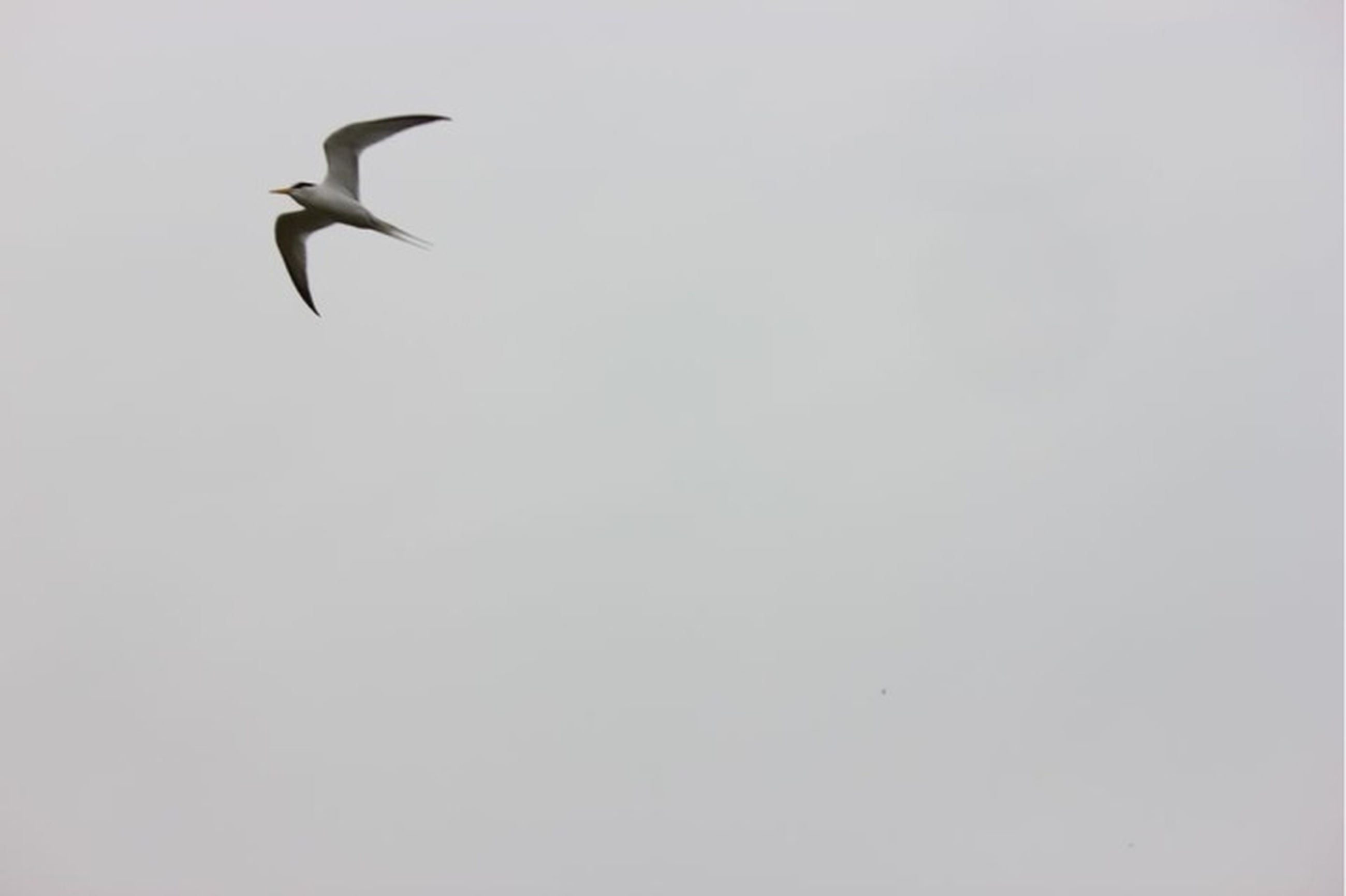 bird, animal themes, animals in the wild, wildlife, flying, one animal, spread wings, seagull, low angle view, clear sky, mid-air, copy space, nature, sky, zoology, avian, two animals, day, outdoors, beauty in nature