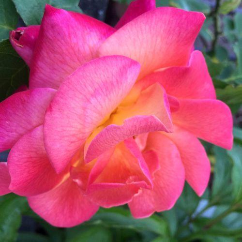 Joseph's Coat Rose - Flower Colours Of Nature Neon Pink Spring Time Garden Rose Garden Detail