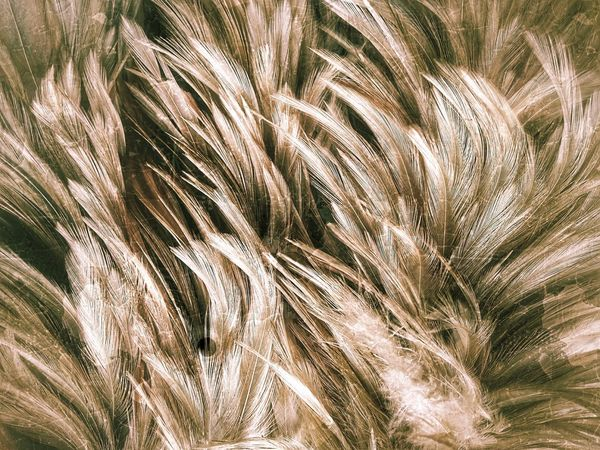 EyeEm Selects Feather  Feathers Feather Collection Nature Abstract Abstract Photography Abstract Art Nature Art Nature Art Photography Art Photography Imagination Imagination Photography Imagination Collection Close Up Photography Close Up Feather Close Up Feathers Of Chicken Feather Art Feather Color Colorful Feather Colorful Feathers