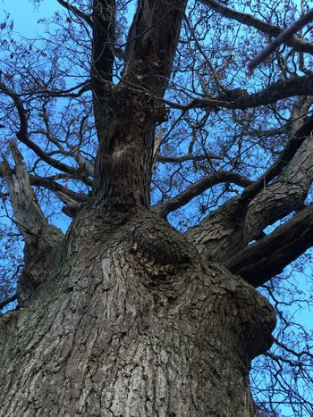 Mighty oak (it might be female😆) Tree Tree Trunk Nature Beauty In Nature Low Angle View Outdoors Eye Em Nature Lover Asseeninohio Tadaa Community Hugging A Tree