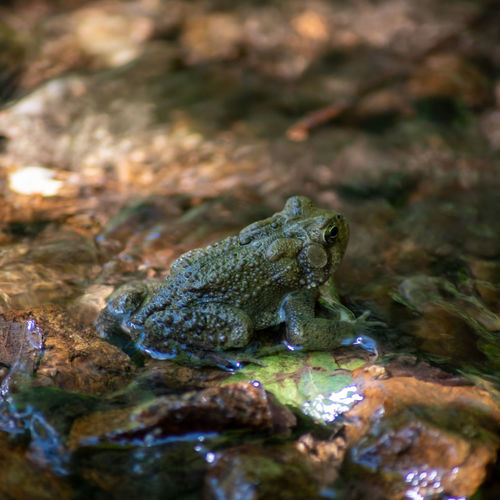 Close-up of an american toad on a green leaf by a flowing creek.