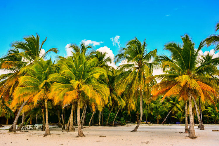 Palm Trees Growing On Sea Shore At Beach Against Blue Sky