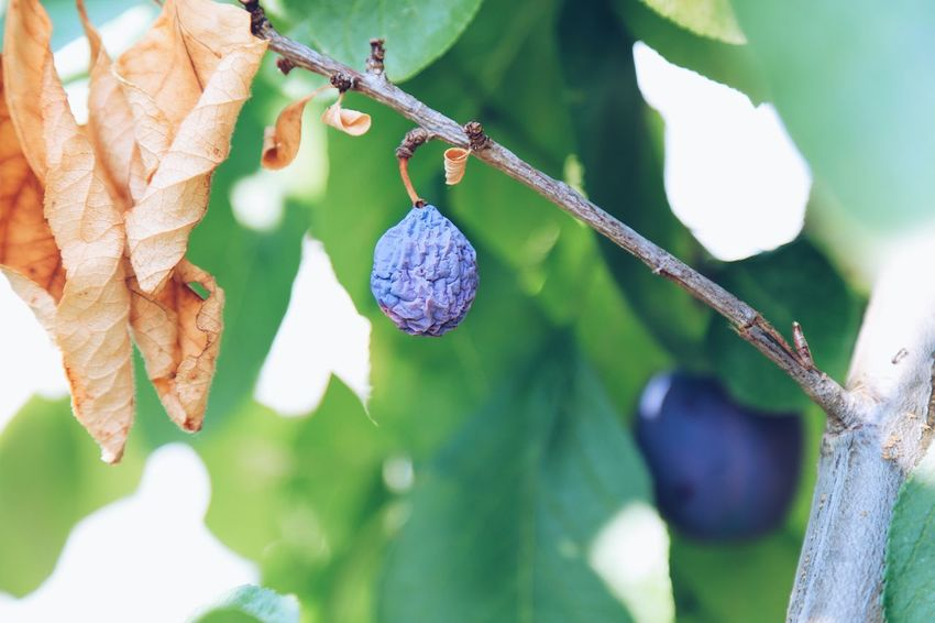 Plum Tree Plum Plums In The Garden Over Ripe Ripe Fruit Full Frame Fruit Tree Old Plant Plant Part Hanging Leaf Growth Tree Focus On Foreground No People Branch Day Close-up Nature Healthy Eating Outdoors Beauty In Nature Fruit Food Food And Drink