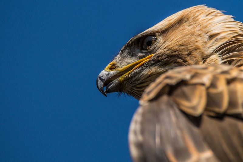 Animal Animal Head  Beauty In Nature Bird Of Prey Close-up Eagle Nature Wildlife