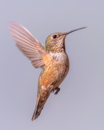 A female Rufous Hummingbird (Selasphorus rufus) in flight. They are difficult critters to get a shot of and to freeze the motion this was taken with a shutter speed of 1/2500, that's less than half a millisecond. Hard to believe these tiny birds travel over 3,200 km (2,000 miles) from Alaska to southern Mexico and back, having to cross mountain ranges as high as 3,800 m (12,600 ft). Measuring only 7cm (2.8–3.5 in) long, it is the longest bird migration on earth when measured in body lengths. They weigh a miniscule 2 to 5 g (0.071 and 0.176 oz). Kinbasket Lake, British Columbia, Canada. Love Life, Love Photography British Columbia, Canada Animal Animal Themes Animal Wildlife Animals In The Wild Beauty In Nature Bird Canada Close-up Day Flapping Flying Full Length Hummingbird Mid-air Motion Nature No People One Animal Outdoors Spread Wings Studio Shot Vertebrate Yoho National Park