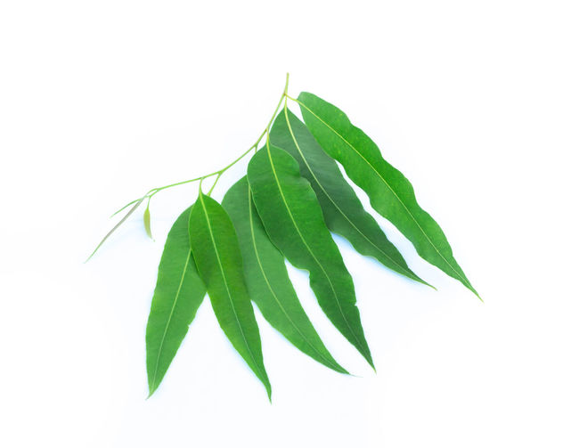 Eucalyptus leaves isolated on white background Australia Isolated Natural Oil; Close; Wooden; Spoon; Coconut; Wood; Nut; Coco; De; Water Damage; Oil Well; Coconut Oil; White; Glass; Isolated; Closeup; Studio; Beauty; Water; Hair; Healthy; Natural; Seed; Brown; Food; Cooking; Cuisine; Nutrition; Open; Tropical; Organic; Cosmetic Aromatic Biology Botany Close-up Closeup Close—up Eucalyptus Freshness Green Color Green; Growth; GumTree Healthy Herb Leaf Leaves Nature Nature; Geology; Hot Spring; Volcanic; Iceland; Sulphur; Steam; Geothermal; Scenics; Fumarole; Erupting; Mountain; Boiling Water; Valley; Travel No People White Background