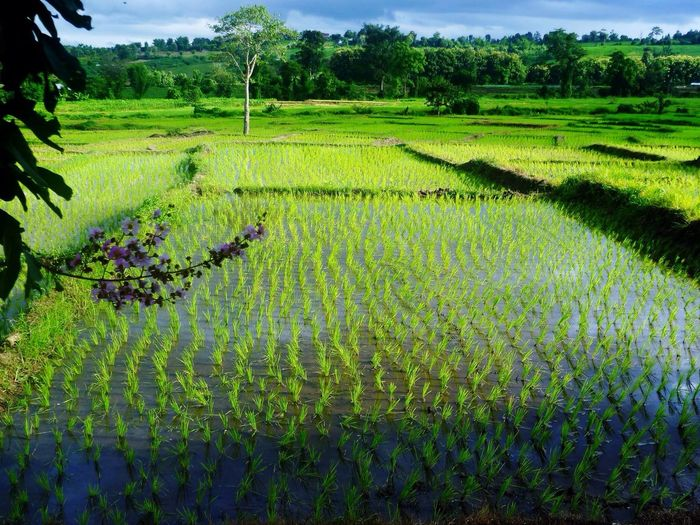 Thailand Pai Rice Field